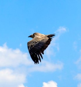 Griffon vulture: at the Gorges du Verdon you can see them flying below you
