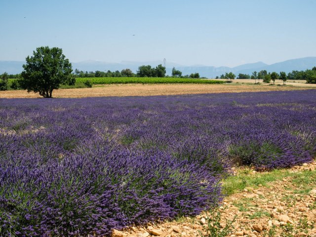 Lavender in a limestone landscape
