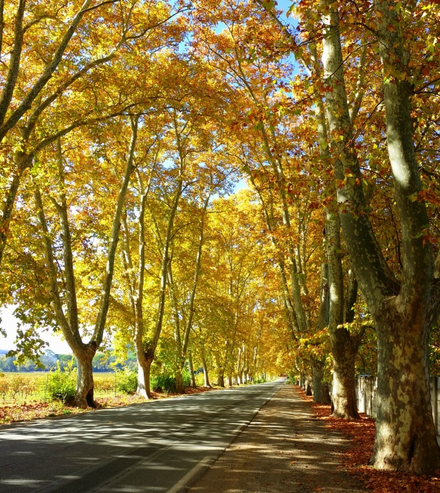 The wonderful avenue of plane trees just ourside Vidauban