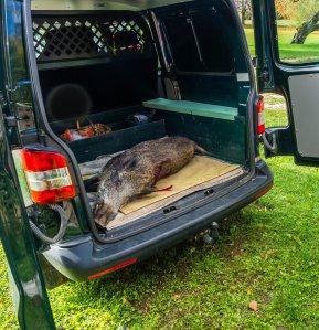 Dead wild boar