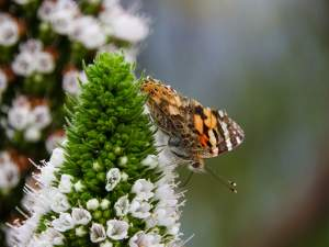 The butterfly is a Painted lady