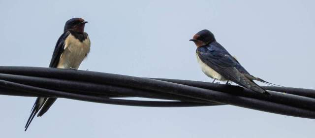 These swallows were among about 100 round the house a few weeks ago, heading north