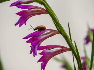 Chafer beetles (June bugs) have been enjoying our flowers...