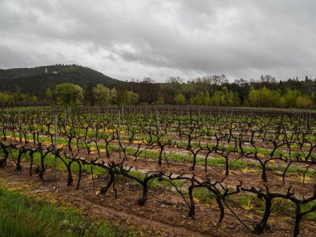 A water-logged vineyard near Taradeau