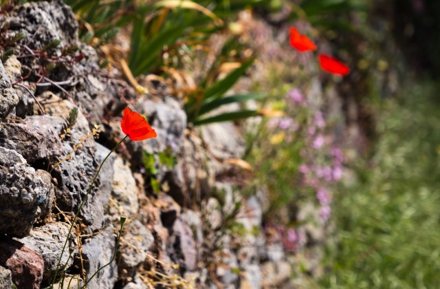 poppies growing out of a stone wall